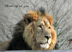 Thinking of you ... lion