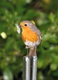 The Robin & The Lacewing