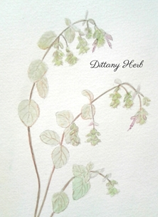 Dittany Herb 2