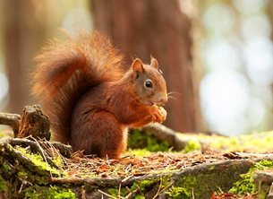 Red Squirrel Snacking