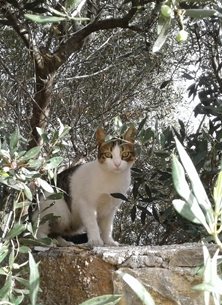The Cat and the Olive Tree