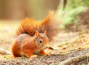 Red squirrel at Formby
