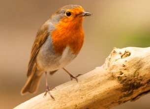 Robin with catch