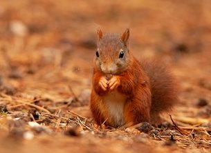 Red squirrel with snack