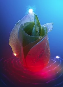 Rippling Rose and Lights
