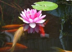 Waterlily with Fish