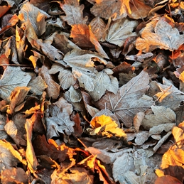 Frosty Autum Leaves