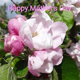 Apple Blossom - Happy Mother's Day