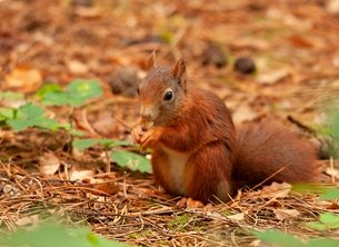 Red squirrel and nut.