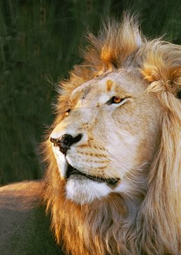 Portrait of a Lion peering into the distance