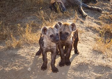 Two Hyena Cubs with Mum