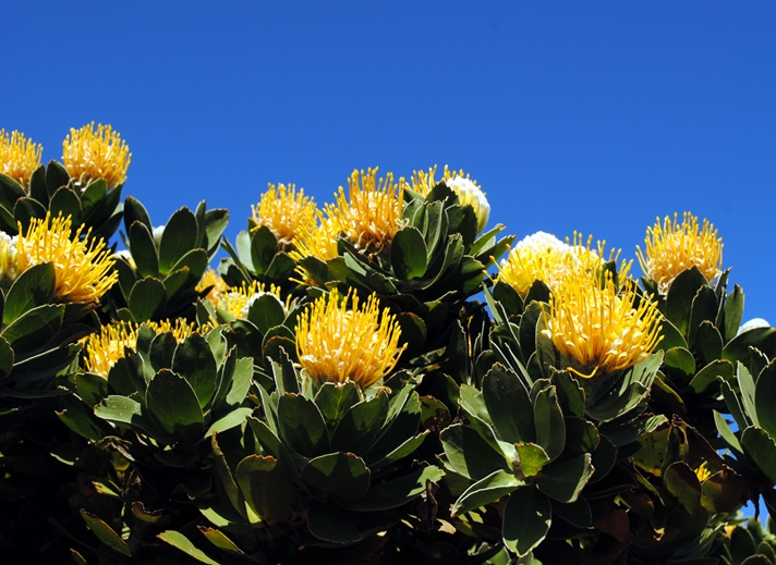 Debbie Daylights Protea - Yellow Pincushion Flower  personalised online greeting card