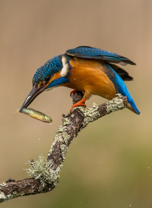 Chappers Photography Kingfisher  personalised online greeting card