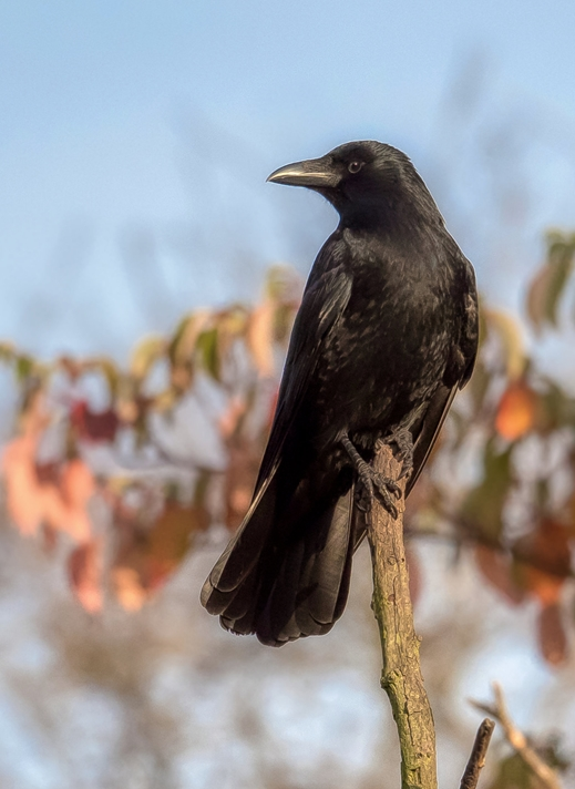 Kate Jaconello Carrion Crow  personalised online greeting card