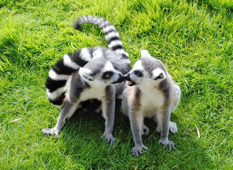 Debbie Daylights Ring-tailed lemurs  personalised online greeting card
