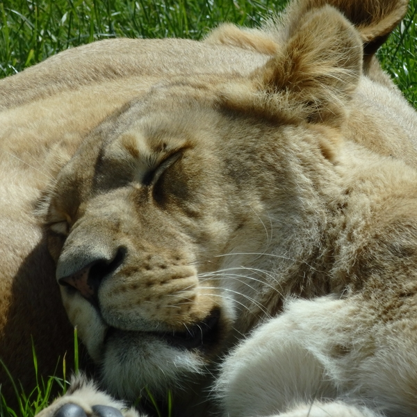 Ruth Searle Art & Photography Sleepy lion  personalised online greeting card