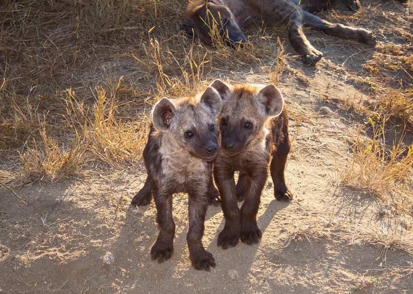 Helen Jobson Photographer Two Hyena Cubs with Mum  personalised online greeting card