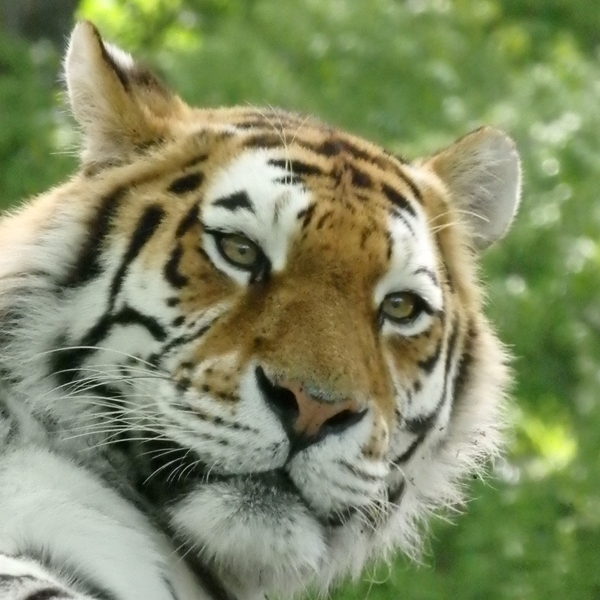 Ruth Searle Art & Photography Tiger  personalised online greeting card