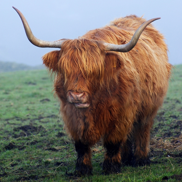 Gary Green Eyes Highland Cow  personalised online greeting card