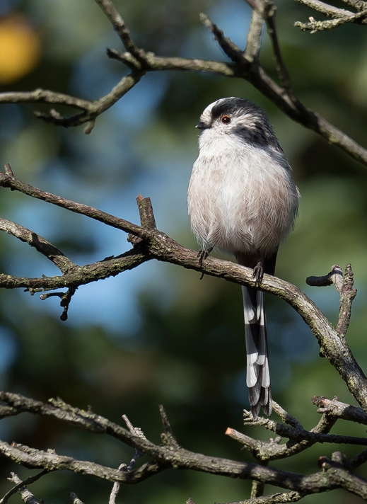 Kate Jaconello Long Tailed Tit  personalised online greeting card