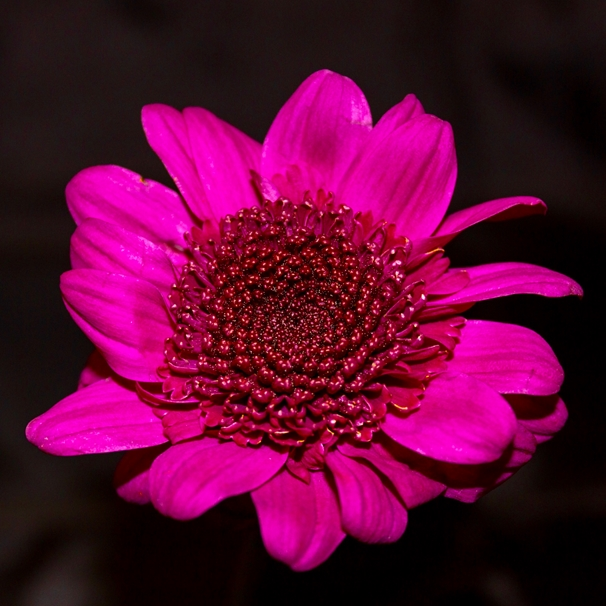 O Scrimshaw Photography Red chrysanthemum  personalised online greeting card