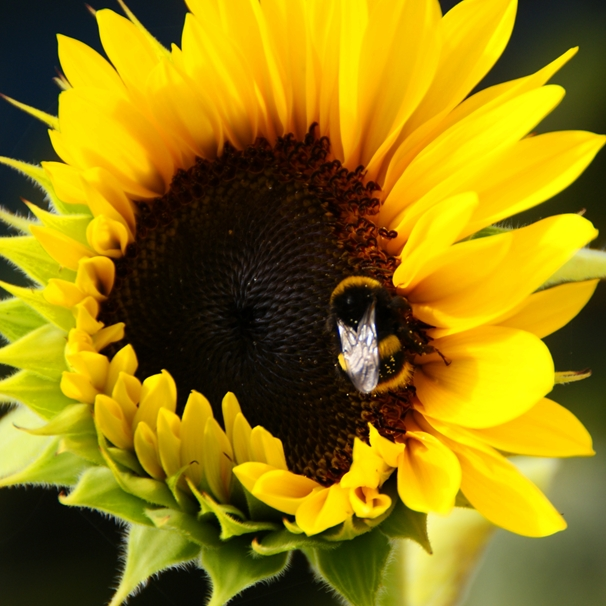 Gary Green Eyes Sunflower with Bumble Bee  personalised online greeting card