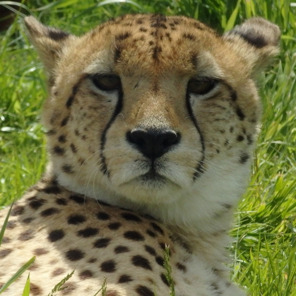 Ruth Searle Art & Photography Cheetah  personalised online greeting card