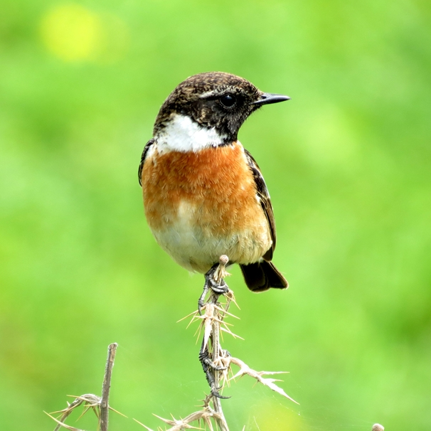 Debbie Daylights Stonechat  personalised online greeting card