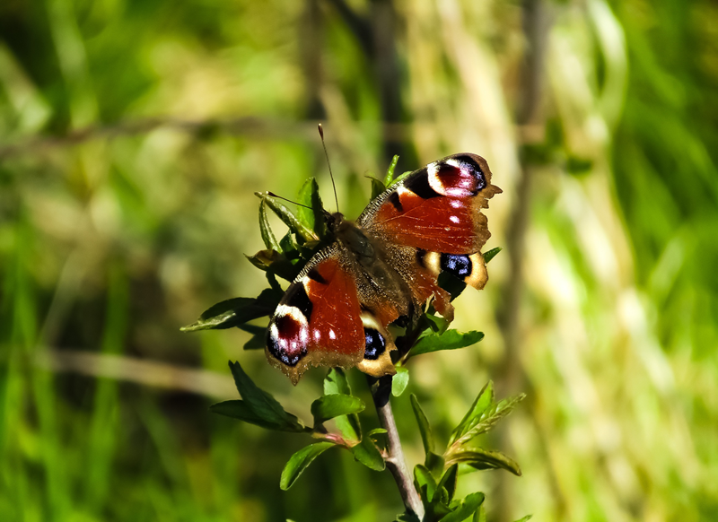 Wight Life Images Butterfly  personalised online greeting card