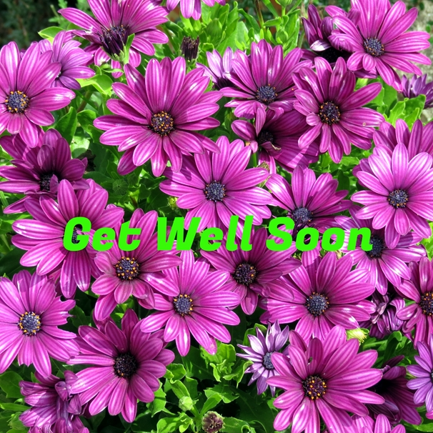 Debbie Daylights Get Well Soon osteospermums  personalised online greeting card