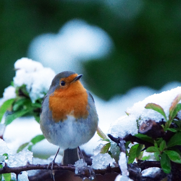 Gary Green Eyes Christmas Robin in the snow  personalised online greeting card