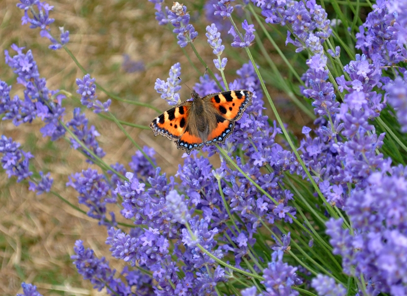 Debbie Daylights Tortoiseshell butterfly on lavender  personalised online greeting card