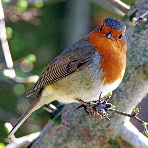 Gary Green Eyes Robin in early Spring  personalised online greeting card