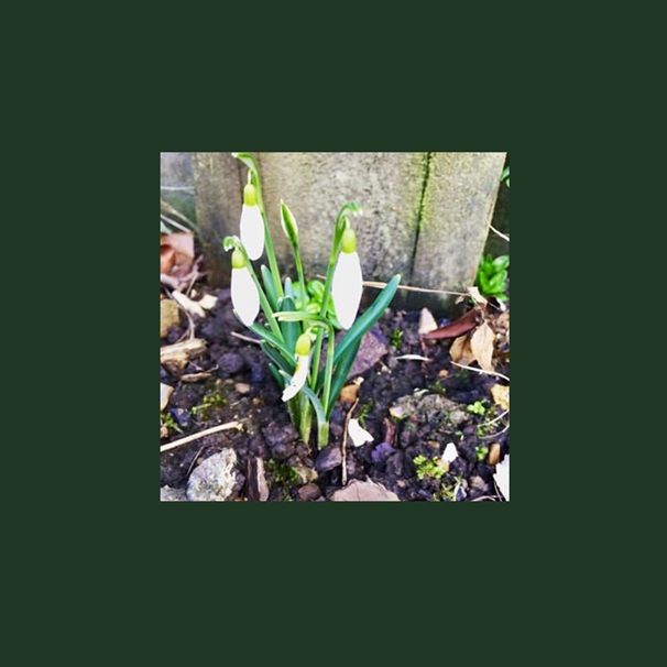 Lawrence Art Works snowdrops   personalised online greeting card