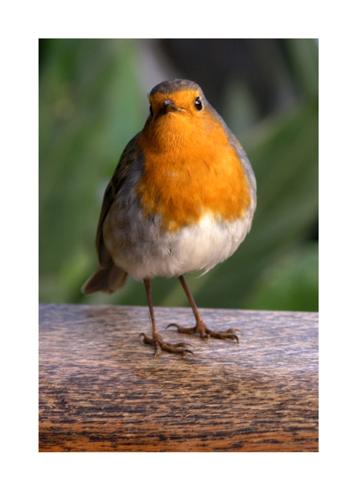 Carole Irving Art and Photography Robin redbreast  personalised online greeting card