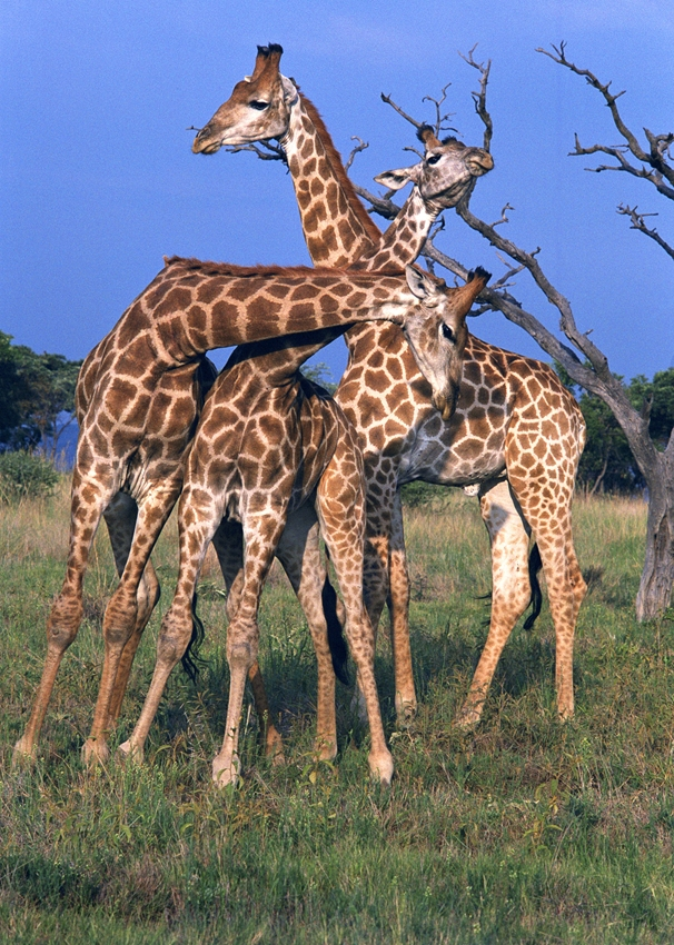 Helen Jobson Photographer 3 Young Male Giraffe Necking  personalised online greeting card