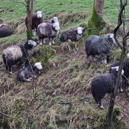Lake District Herdwick