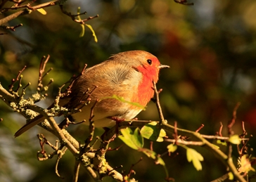 Photography Robin, Bird, Bushy Park,Hawthorne Tree personalised online greeting card