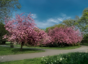 Photography cherry blossom lane greenwich park tree trees pink  personalised online greeting card