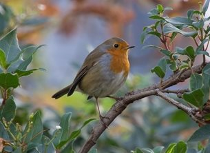 Photography robin autumn birds bird nature wildlife general  personalised online greeting card