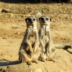 Photography meerkats mongoose animals mammals two deserts Africa anniversary engagement sitting for-child for-her for-him personalised online greeting card