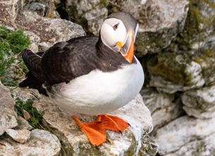 Photography ^Puffin^, ^sea parrot^,  personalised online greeting card