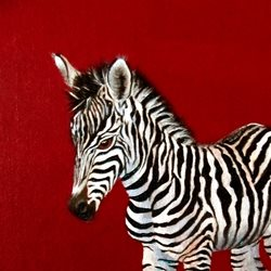 art Zebra, Animals, Wildlife, Africa, Zoo, Red, Black, White,  personalised online greeting card