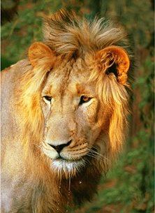 Photography  greeting cards by Helen Jobson Photographer male lion, african wildlife, Portrait of a male Lion