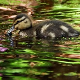 Duckling in Spring