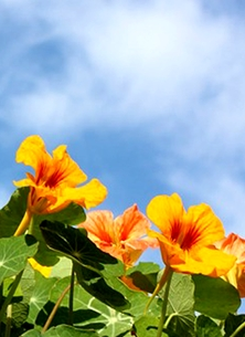 Birthday mothers sympathy general nasturtiums flowers sky leaves orange yellow blue for-her photo personalised online greeting card