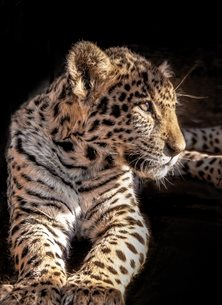 Photography  greeting cards by Helen Jobson Photographer alone,  animal head,  animal,  big cat,  carnivore,  cub,  Felidae family, feline,  head,  leopard,  Leopard, Cub,  Looking, mammal,  no people,  one animal,  panthera pardus, leopard,  south africa, spotted,  wild animal,  wildlife,  young young animal,  Leopard Cub