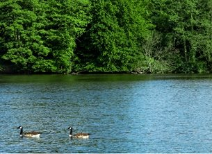 Photography UoR Whiteknights lake water waves geese goose birds waterscape nature landscape fishing for-him for-her for-child personalised online greeting card