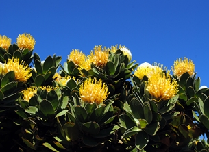 Protea - Yellow Pincushion Flower