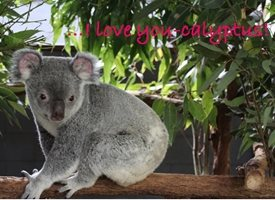 General Koala animals cute love birthday anniversary valentines personalised online greeting card